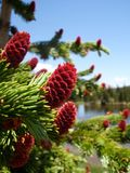 Pine Tree with Red Cones Royalty Free Stock Images