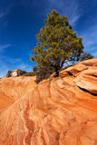 Pine Tree On Red Rocks Stock Images