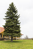Pine tree. Restaurant cabin behind beautiful pine tree Royalty Free Stock Image