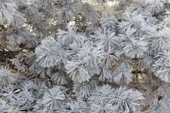 Pine tree rime in winter Stock Photography