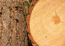 Pine tree rings and trunk Stock Image