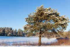 Pine tree at roadside winter Royalty Free Stock Image