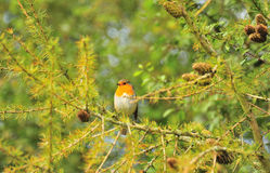 Pine tree Robin (Erithacus rubecula) Stock Images