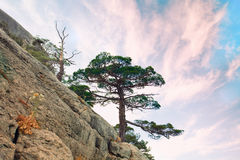 Pine tree on the Rock. Single pine tree on the rock against sunset sky stock images