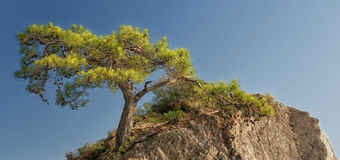 Pine Tree on the Rock Royalty Free Stock Photography