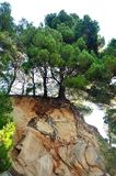 Pine tree on rock in Podgora Royalty Free Stock Photo