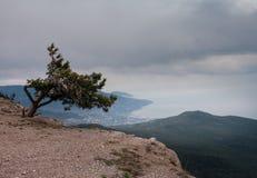 Pine tree on the rock Stock Image