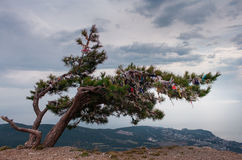 Pine tree on the rock Royalty Free Stock Image