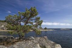 Pine tree on the rocks. Pine tree on the rocks in Stockholm archipelago Royalty Free Stock Photo