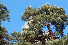 Pine tree and rocks in Fontainebleau forest Royalty Free Stock Photo