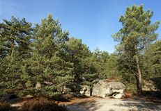 Pine tree and rocks in Ile de France forest stock photography
