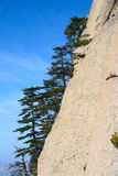 Pine tree  on the rocks Royalty Free Stock Images