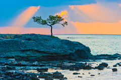 Pine tree on a rocky seashore at sunrise. Picturesque pine tree on a rocky seashore at sunrise Royalty Free Stock Images