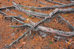 Pine tree roots Royalty Free Stock Image