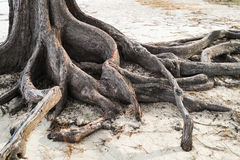 Pine tree roots on the beach Royalty Free Stock Photo