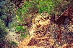 Pine tree with roots on rocky mountains. Pine tree with roots on rocky mountain. Scenic landscape stock image