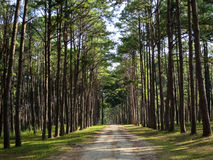 Pine tree row along natural roadway in the pleasant park, northe royalty free stock photos