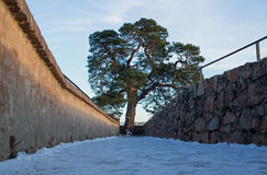 Pine tree on the ruin castle Auerbach (Auerbacher castle) Stock Photography