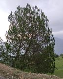 Pine tree in rural area. Pine tree Rural Area  in uttarakhand india hill area click photo stock images