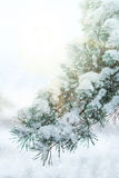Pine tree's branch. The image of pine tree's branch royalty free stock images