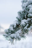Pine tree's branch. The image of pine tree's branch royalty free stock photos