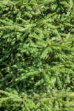 Pine tree's branches forming a background Royalty Free Stock Photography