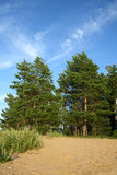 Pine tree on sand beac. The pine tree on sand beach on sky backgound Royalty Free Stock Images