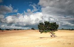Pine tree on sand dune and stormy sky. In summer Royalty Free Stock Photos