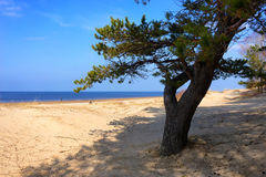 A pine tree in the sand dunes of the Baltic Sea Stock Image