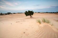 Pine tree on sand dunes at sunset Royalty Free Stock Image