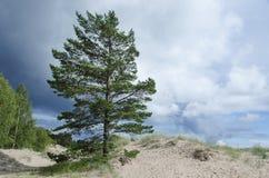 Pine tree on the sand Royalty Free Stock Photos