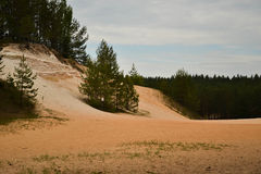 Pine tree and sand. Pine tree growing in sand in Estonia Royalty Free Stock Photos