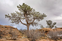 Pine tree on sandstome cliff Stock Photo
