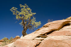 Pine tree and sandstone. View of the landscape in Zion National Park Stock Images