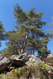 Pine tree and sandstones  in Fontainebleau forest. Natural and regional park of French gatinais Stock Photography