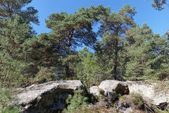 Pine tree and sandstones  in Fontainebleau forest. Natural and regional park of French gatinais Stock Photos