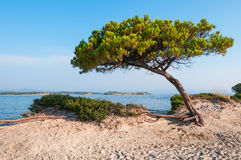 Pine tree on a sandy beach Stock Photo