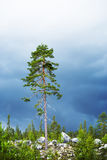 Pine tree in scandinavian forest Royalty Free Stock Image