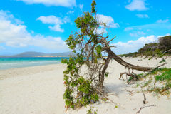 Pine tree by the sea in Alghero Stock Image