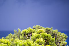 Pine tree with sea in background Stock Image