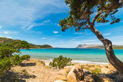 Pine tree by the sea in Capo Coda Cavallo Stock Photos