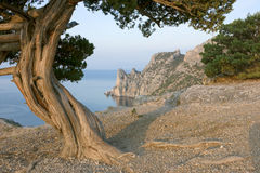 Pine tree on sea coast royalty free stock photos