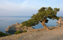 Pine tree on sea coast Stock Images
