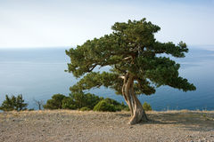 Pine tree on sea coast royalty free stock photography