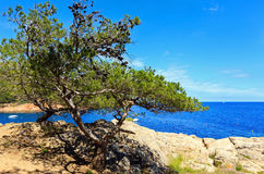 Pine tree on sea coast. Stock Image