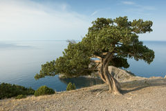 Pine tree on sea coast Stock Photography