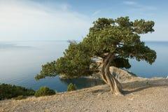 Pine tree on sea coast Stock Photography