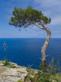 Pine tree and the sea Royalty Free Stock Photography