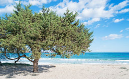 Pine tree by the sea Stock Images