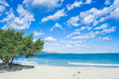 Pine tree by the sea in Stintino Royalty Free Stock Image